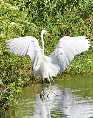Photograph - Great Egret Settles Landing by William Tasker