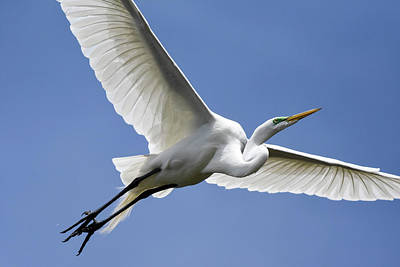 Art Print featuring the photograph Great Egret Soaring by Gary Wightman