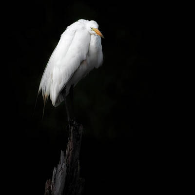 Photograph - Great Egret Square by Bill Wakeley