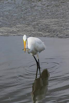 Photograph - Great Egret Strike by Allan Morrison