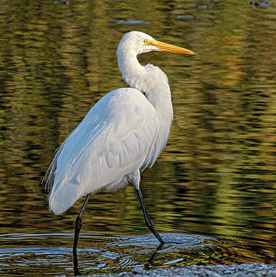 Photograph - Great Egret Stroll by HH Photography of Florida
