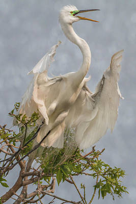 Photograph - Great Egret Take-off by Patti Deters