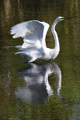 Photograph - Great Egret Takes Flight by Christopher Kirby