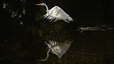 Photograph - Great Egret Takes Flight Delray Beach Florida by Lawrence S Richardson Jr