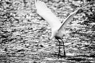 Photograph - Great Egret Taking Off by Charline Xia