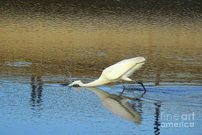 Photograph - Great Egret - The Strike by Scott Cameron