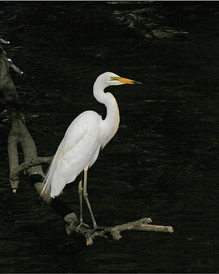 Photograph - Great Egret by Tony Brown