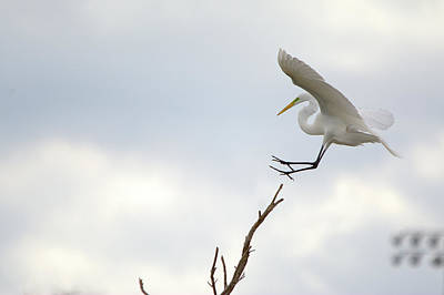 Photograph - Great Egret Treetop Landing by Roy Williams