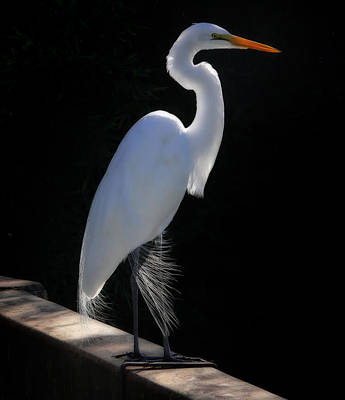Photograph - Great Egret by Van Sutherland