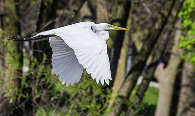Photograph - Great Egret by Will Bailey