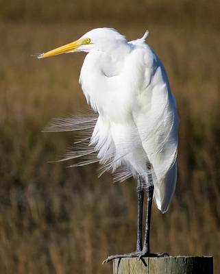Photograph - Great Egret Wind Feathers by Ellen Meakin