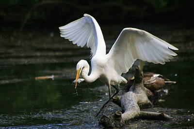Photograph - Great Egret With Baby Striped Bass by Christopher Kirby