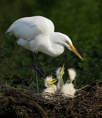 Photograph - Great Egret With Chicks by Steve Zimic