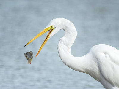 Photograph - Great Egret With Fish 1076-111217-1 by Tam Ryan
