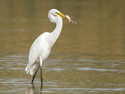 Photograph - Great Egret With Fish 1356-111317-1cr by Tam Ryan