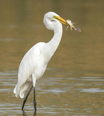 Photograph - Great Egret With Fish 1356-111317-2cr by Tam Ryan