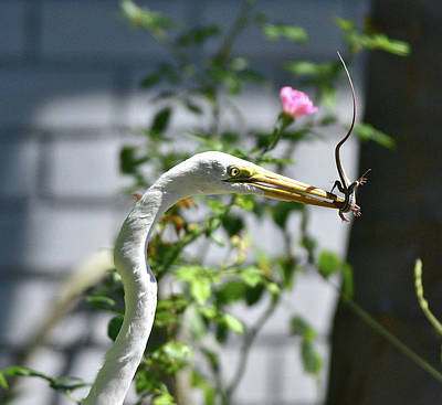 Alligator Lizards Photograph - Great Egret With Fresh Lunch 3 by Linda Brody