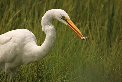 Photograph - Great Egret With Lunch by Karen Silvestri