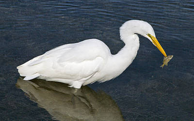 Bob Wade Photograph - Great Egret With Meal by Bob Slitzan
