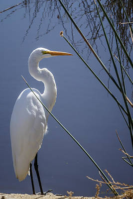 Photograph - Great Egret With Reeds by Albert Seger