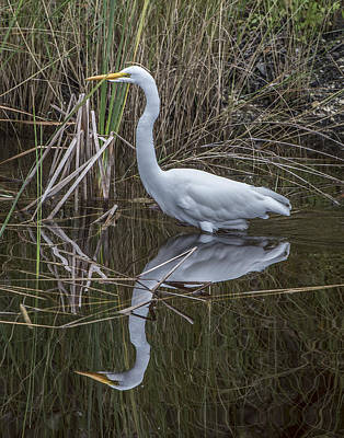 Photograph - Great Egret With Reflection by William Bitman