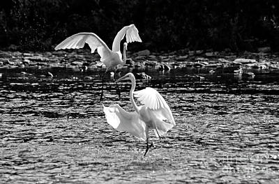 Photograph - Great Egrets Dancing by Charline Xia