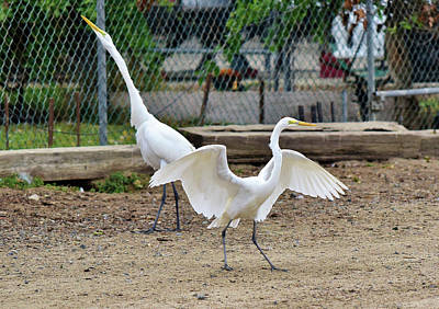Shore Bird Photograph - Great Egrets Feel Like Dancing Yeah by Linda Brody