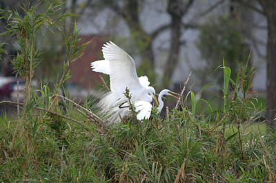 Photograph - Great Egrets Mating On The Island by Roy Williams