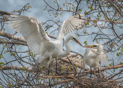 Photograph - Great Egrets Sharing Sticks by Patti Deters