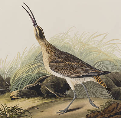 Audubon Drawing - Great Esquimaux Curlew by John James Audubon