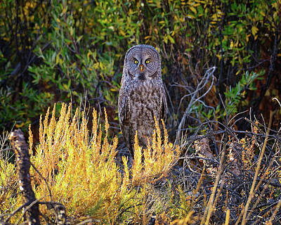 Great Grey Owl Photograph - Great Gray by Greg Norrell