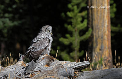 Photograph - Great Gray On A Log by Mike Fitzgerald