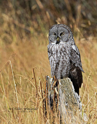 Photograph - Great Gray On A Stump by Mike Fitzgerald