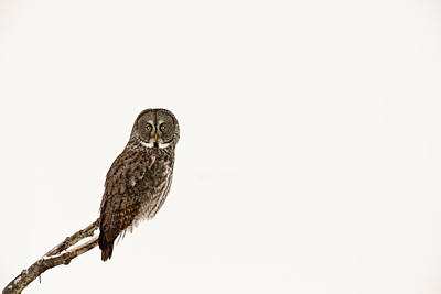 Great Gray Photograph - Great Gray On White by Tim Grams
