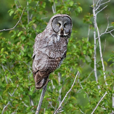 Photograph - Great Gray Owl #2 by Al Reiner
