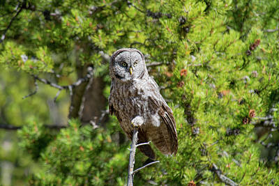 Photograph - Great Gray Owl 2 by Frank Madia