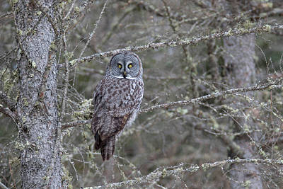 Photograph - Great Gray Owl 5 by Brook Burling