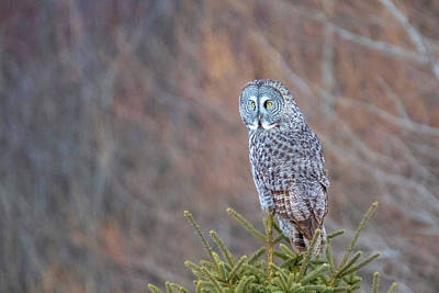 Photograph - Great Gray Owl 6 by Brook Burling