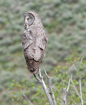 Photograph - Great Gray Owl by Al Reiner
