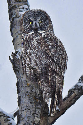 Photograph - Great Gray Owl by Alan Lenk