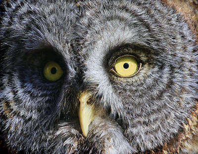 Photograph - Great Gray Owl Close Up by Steve McKinzie