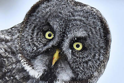 Photograph - Great Gray Owl Face #2 by Alan Lenk