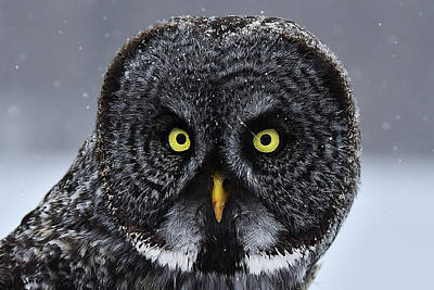 Photograph - Great Gray Owl Face by Alan Lenk