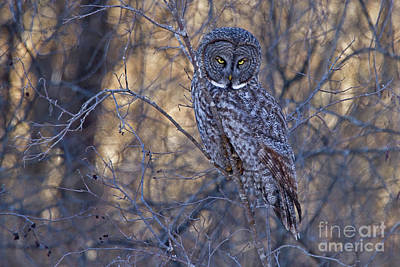 Photograph - Great Gray Owl I by Butch Lombardi