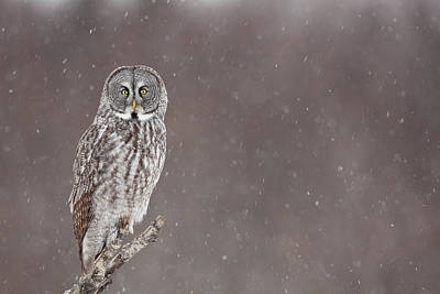 Great Gray Photograph - Great Gray Owl In Falling Snow by Tim Grams