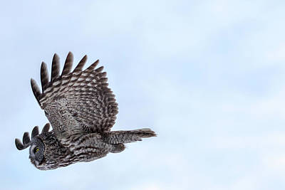 Photograph - Great Gray Owl In Flight by Brook Burling