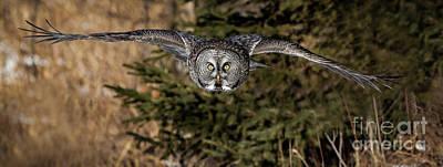 Ggo Photograph - Great Gray Owl In Flight by Rudy Viereckl