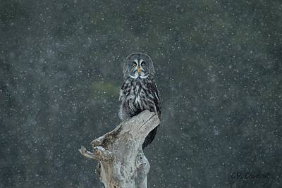 Photograph - Great Gray Owl In Snowstorm by CR Courson