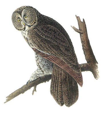 Great Gray Painting - Great Gray Owl by John James Audubon
