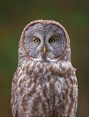 Photograph - Great Gray Owl Looking At You by Loree Johnson